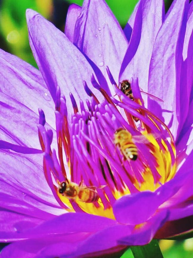 Lotus Flower Lotus Water Lily Purple Flowers Purple Lotus Bee 🐝 Dew Drops Bees And Flowers Beesofeyeem EyeEm Best Shots Eye4photography  EyeEm Gallery Urban Gardening Urbanphotography Small Animal Management At Its Best! Wonderful Day Beautiful Flower, Natural Color, Beauty In Nature