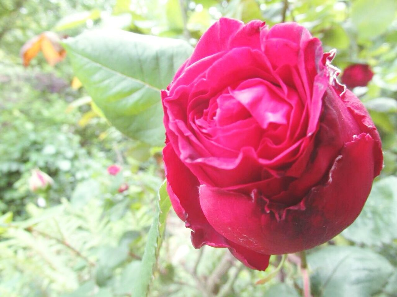 flower, nature, petal, fragility, beauty in nature, growth, freshness, close-up, flower head, rose - flower, day, plant, outdoors, no people, leaf, red, blooming