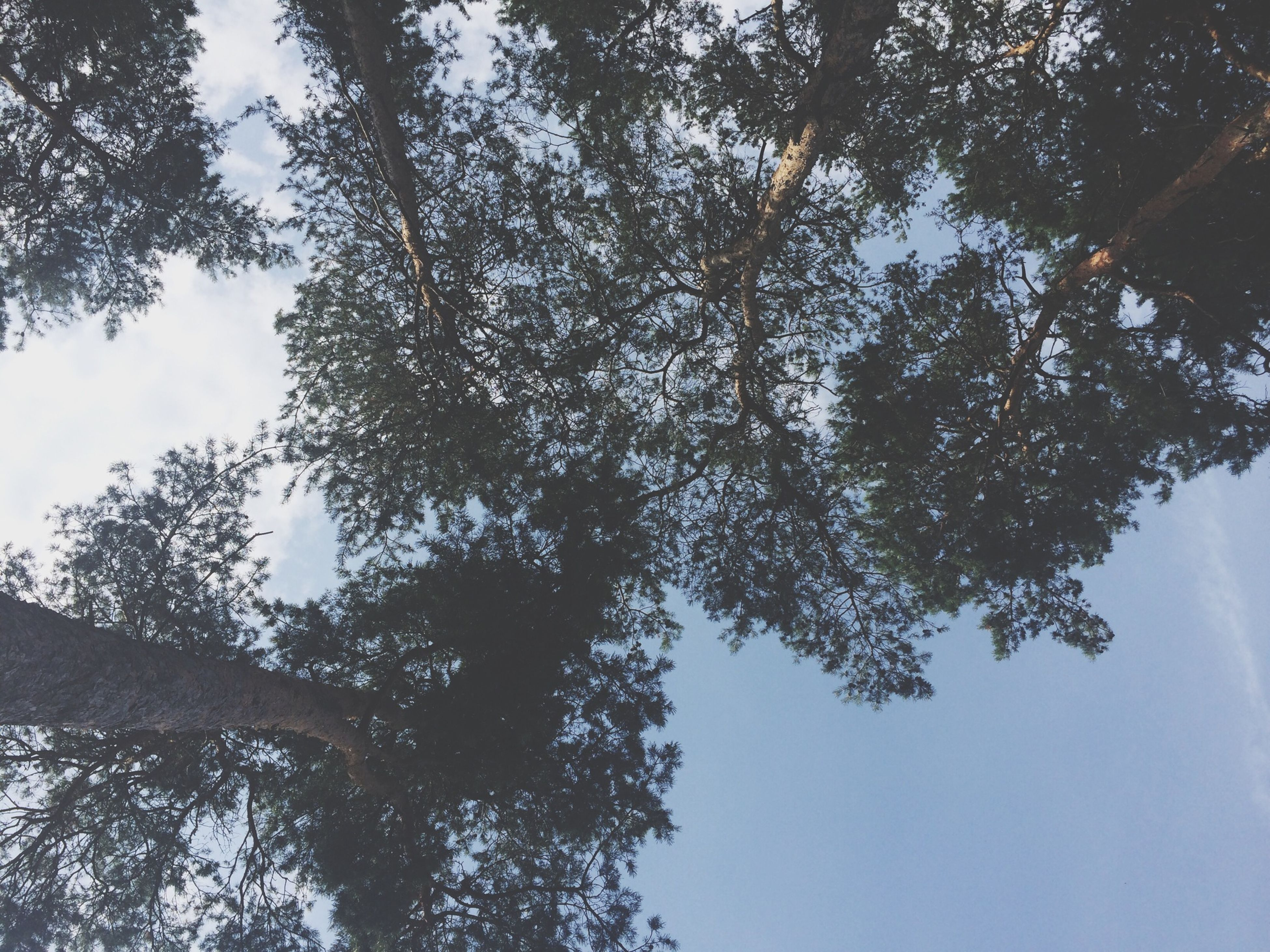 tree, low angle view, branch, growth, tranquility, nature, sky, beauty in nature, tree trunk, scenics, tranquil scene, day, no people, outdoors, sunlight, forest, clear sky, tall - high, idyllic, directly below