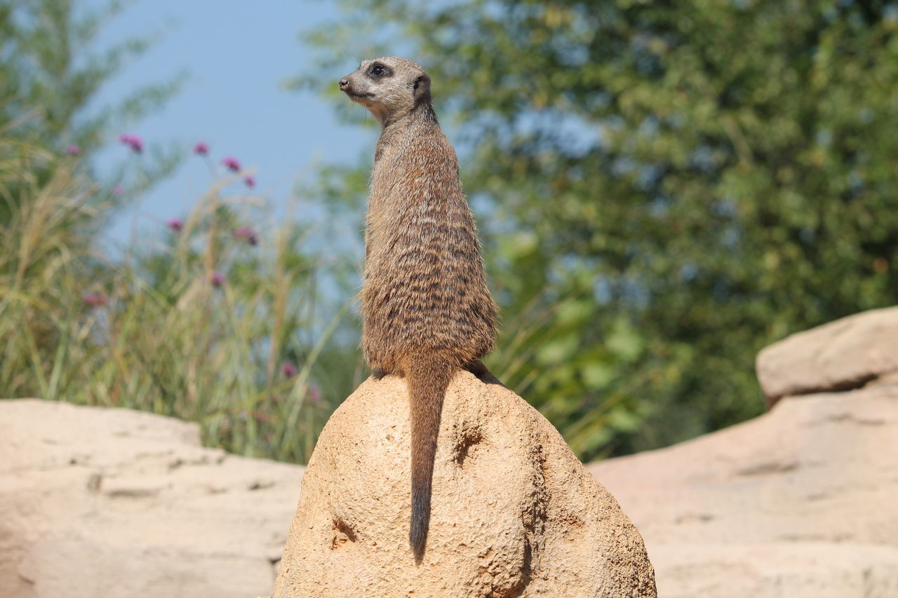 day, animal themes, one animal, animals in the wild, mammal, outdoors, sand, nature, animal wildlife, standing, meerkat, no people
