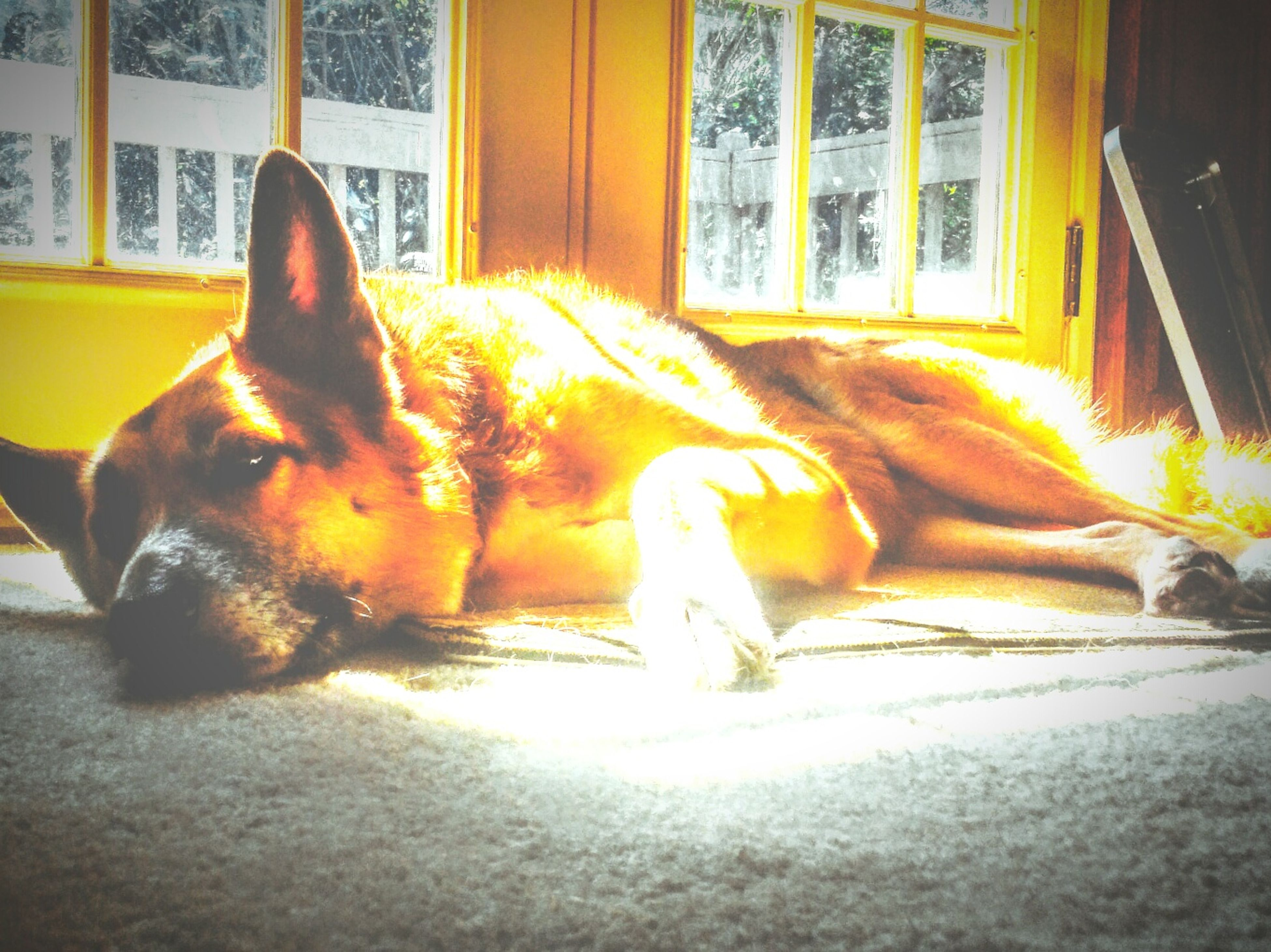 animal themes, one animal, domestic animals, pets, dog, mammal, relaxation, resting, sunlight, zoology, full length, vertebrate, animal, shadow, lying down, loyalty, pampered pets, sunbeam, day, laziness, herbivorous, no people