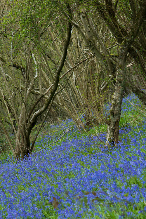 Bluebells in Brampton Wood Cambridgeshire Best Flowers Blue Flowers Bluebells Bluebells Field Brampton Wood Close Up Flower Close Up Flowers Close Up Nature Flowers Flowers Of 2016 Flowers Of The Season Flowers Of The World. Flowers, Nature And Beauty Flowers_collection Spring Spring Flowers UK Bluebells White Bluebells Wild Flowers Wild Flowers Bloom Mother Nature Showcase May The Great Outdoors - 2016 EyeEm Awards