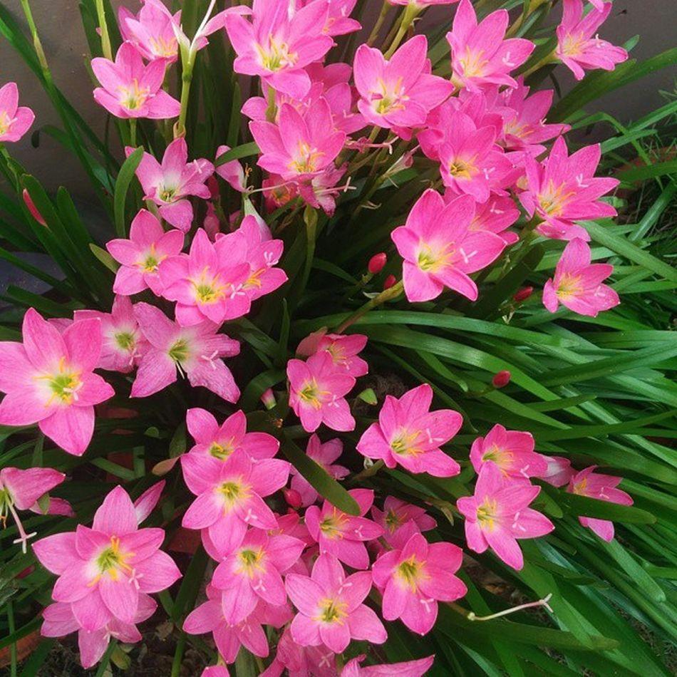 Flowers Flower Homegarden Garden Containergarden Instagardenlover Instaflower Nexus5 Nexus5photography Nofilter Noedit Ahmedabad Gujarat India