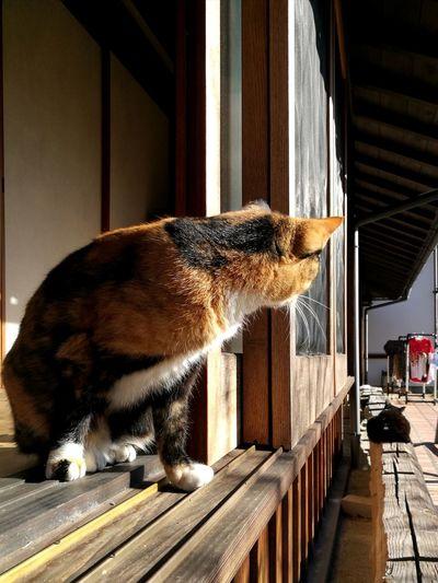 Three Cats Calico Cat Black Cat  orange Tabby Cat Japanese Traditional House Domestic Cat Animal Themes Domestic Animals Pets No People Love Cat Cute Cat Shouji Japan