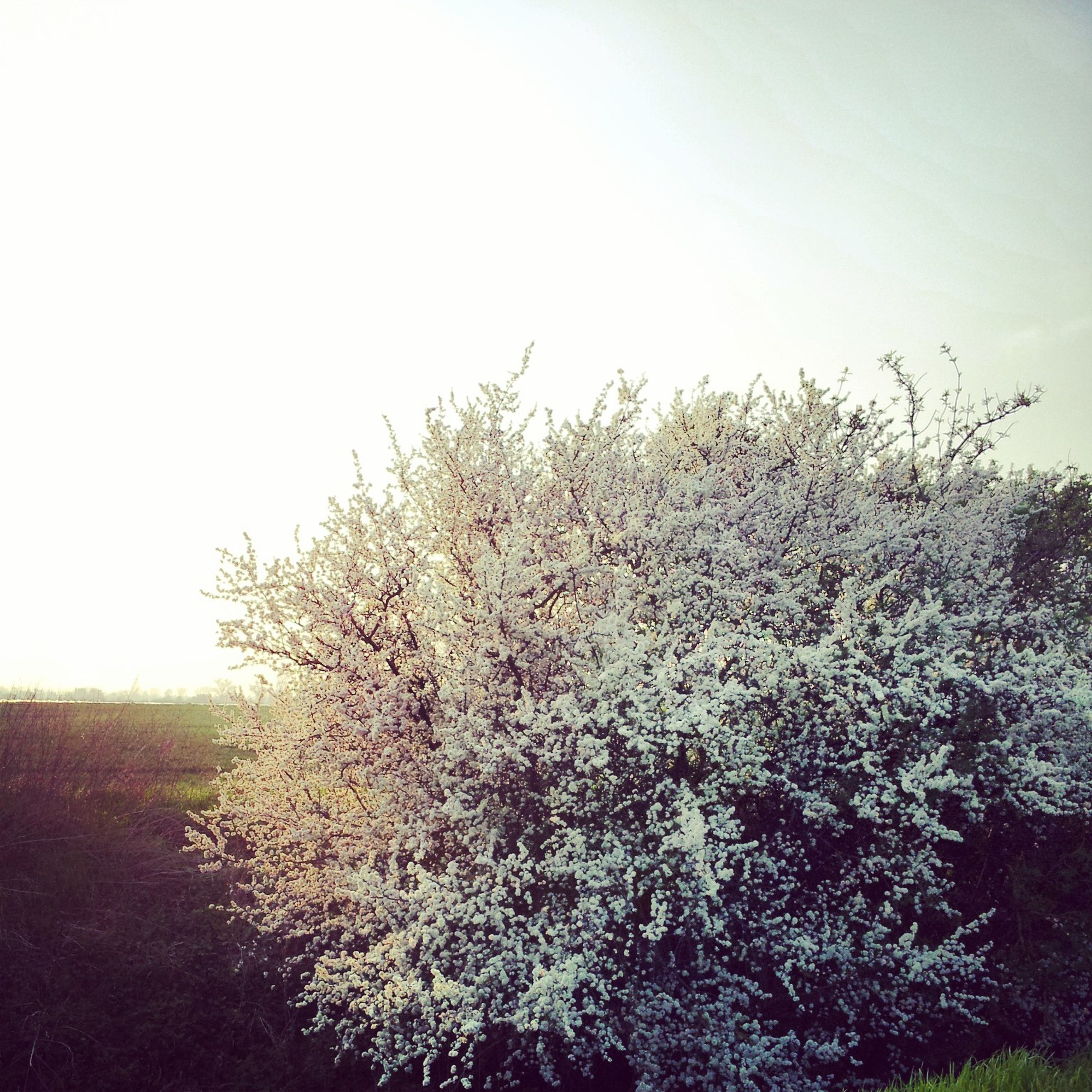 growth, clear sky, flower, beauty in nature, nature, field, copy space, tranquility, plant, white color, tranquil scene, landscape, freshness, tree, day, sky, fragility, scenics, outdoors, no people