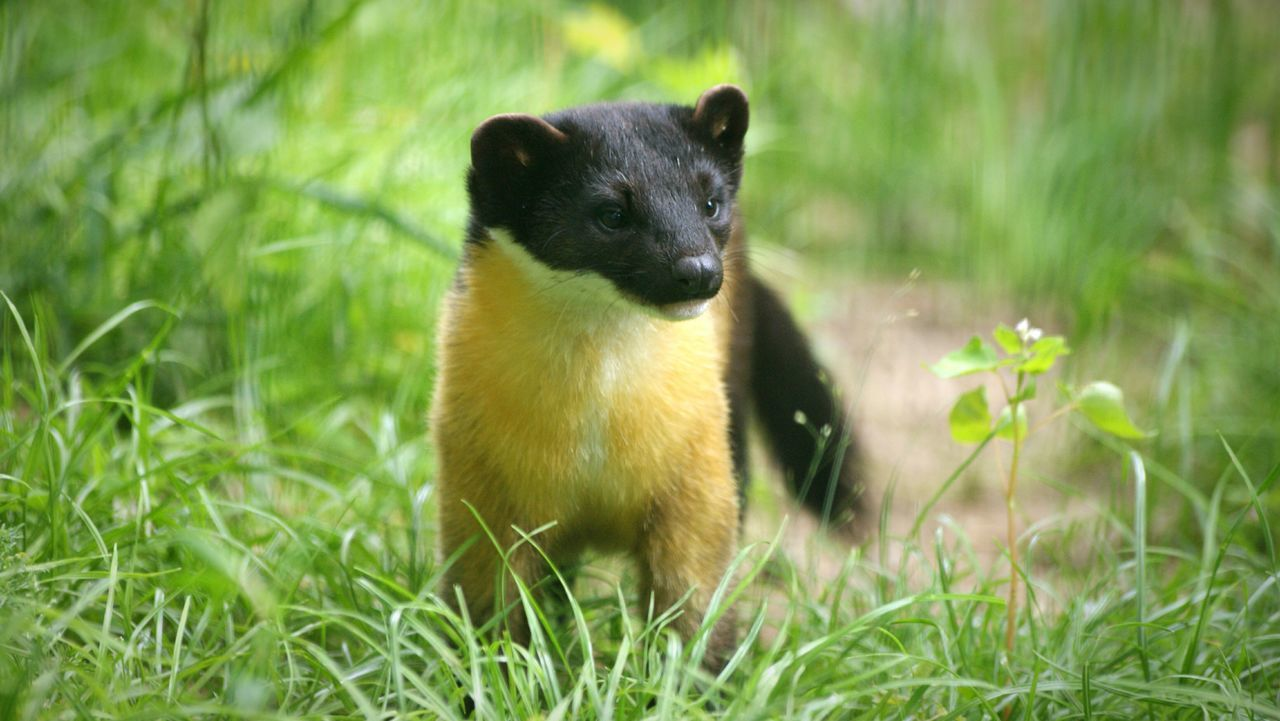 Yellow-throated marten... Yellow Throated Marten Martes Flavigula Animals Animal Animal Photography Wildlife Wildlife & Nature Wildlife Photography Nature Nature Photography Black And Yellow  Fur HEAD Face Ear Eye Nose Close-up Taking Photos Check This Out Enjoying Life Grass Zoo Zoo Animals  Hanging Out