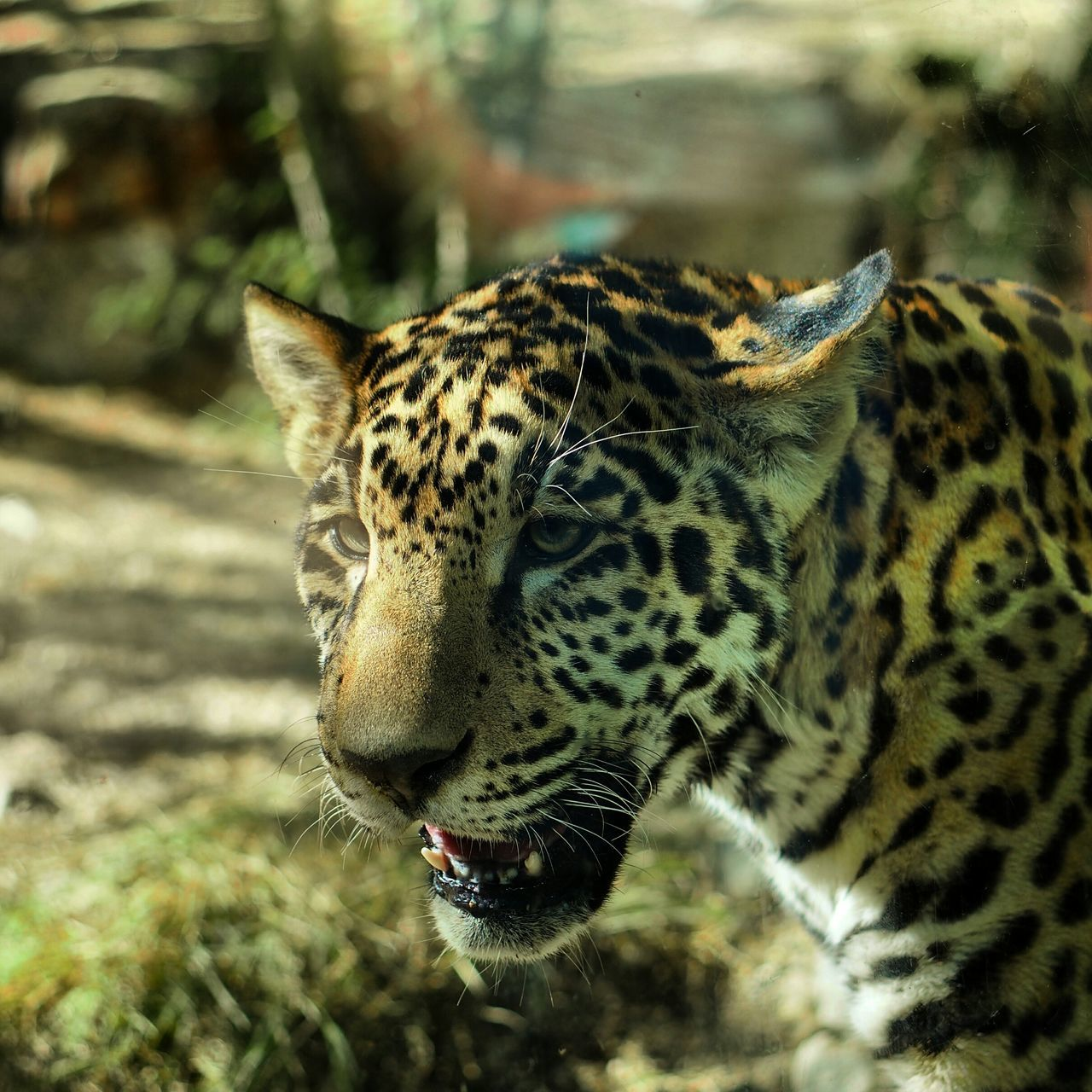 Beautiful stock photos of jaguar, Animal Themes, Animal Wildlife, Animals In The Wild, Close-Up