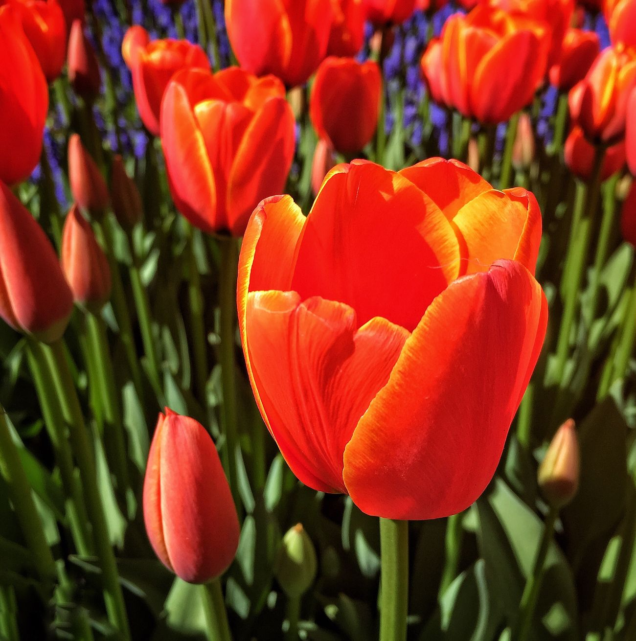 Fresh Tulips Freshness Flower Nature Fragility Beauty In Nature Petal Growth Blooming Flower Head Orange Color Red Plant No People Outdoors Tulip Close-up Day
