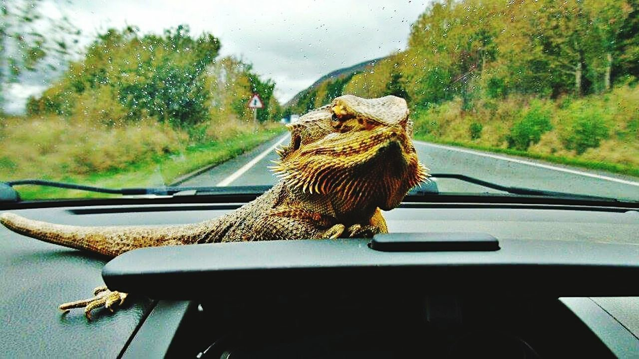Transportation Transparent Window Windshield Car Looking Through Window Reflection Land Vehicle Rain Mode Of Transport Animal Themes Day Journey Outdoors No People Sky Close-up Tranquil Scene EyeEmNewHere Eyeemvision EyeEmVision1 EyeEmVision 1 EyeEm Gallery Beauty In Nature beardeddragon