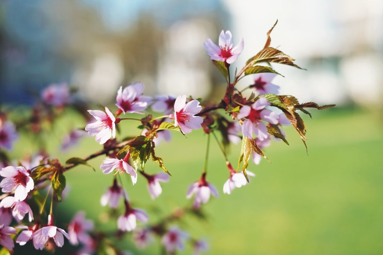 Springtime blossom in full swing. Flower Nature Growth Fragility Petal Beauty In Nature No People Freshness Focus On Foreground Day Flower Head Close-up Outdoors Blooming Plant Branch