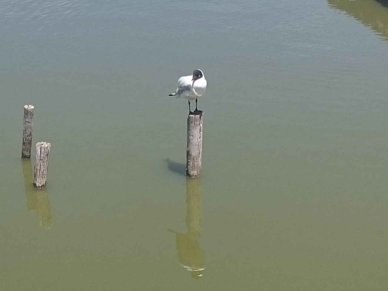water, animals in the wild, animal themes, animal wildlife, day, waterfront, reflection, lake, bird, wooden post, high angle view, nature, one animal, no people, outdoors, beauty in nature, perching