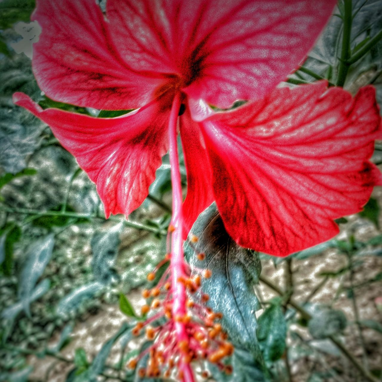 red, growth, plant, flower, fragility, petal, day, nature, flower head, outdoors, close-up, freshness, beauty in nature, no people, hibiscus, blooming, day lily