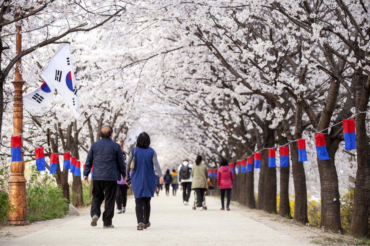 Beautiful stock photos of south korea, Blossom, Casual Clothing, Cherry Blossom, Cherry Tree
