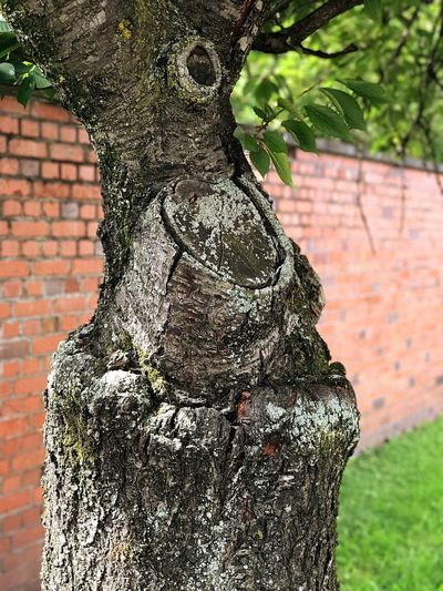 Grafted Trees Tree Trunk Tree Day Outdoors Brick Wall Textured  No People Nature Close-up