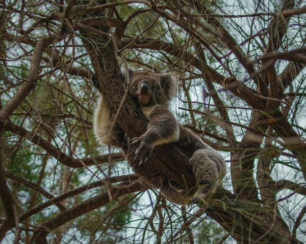 Sleep. Koalas sleep 18 hours a day, the other 6 hours are spent eating and watching tv. Hanging Out Wildlife Koala Bear Australia Adelaide Koala Morialta Falls Fresh On Market June 2016 EyeEm Best Shots Check This Out Eyemphotography Found On The Roll Photosoftheday Relaxing