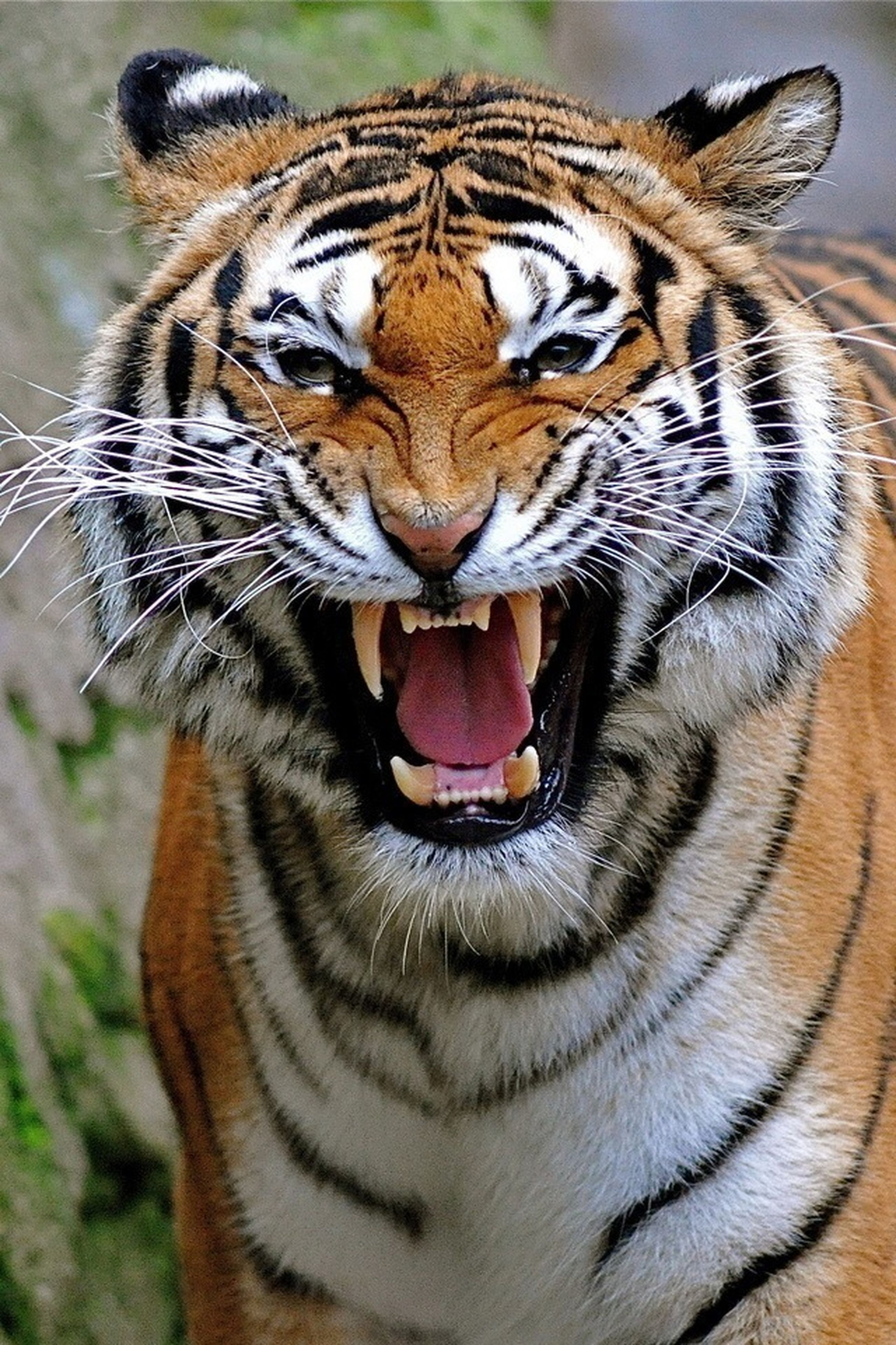 animal themes, one animal, animals in the wild, animal markings, wildlife, close-up, mammal, animal head, focus on foreground, animal body part, natural pattern, tiger, safari animals, zoology, part of, day, nature, outdoors, no people, looking at camera