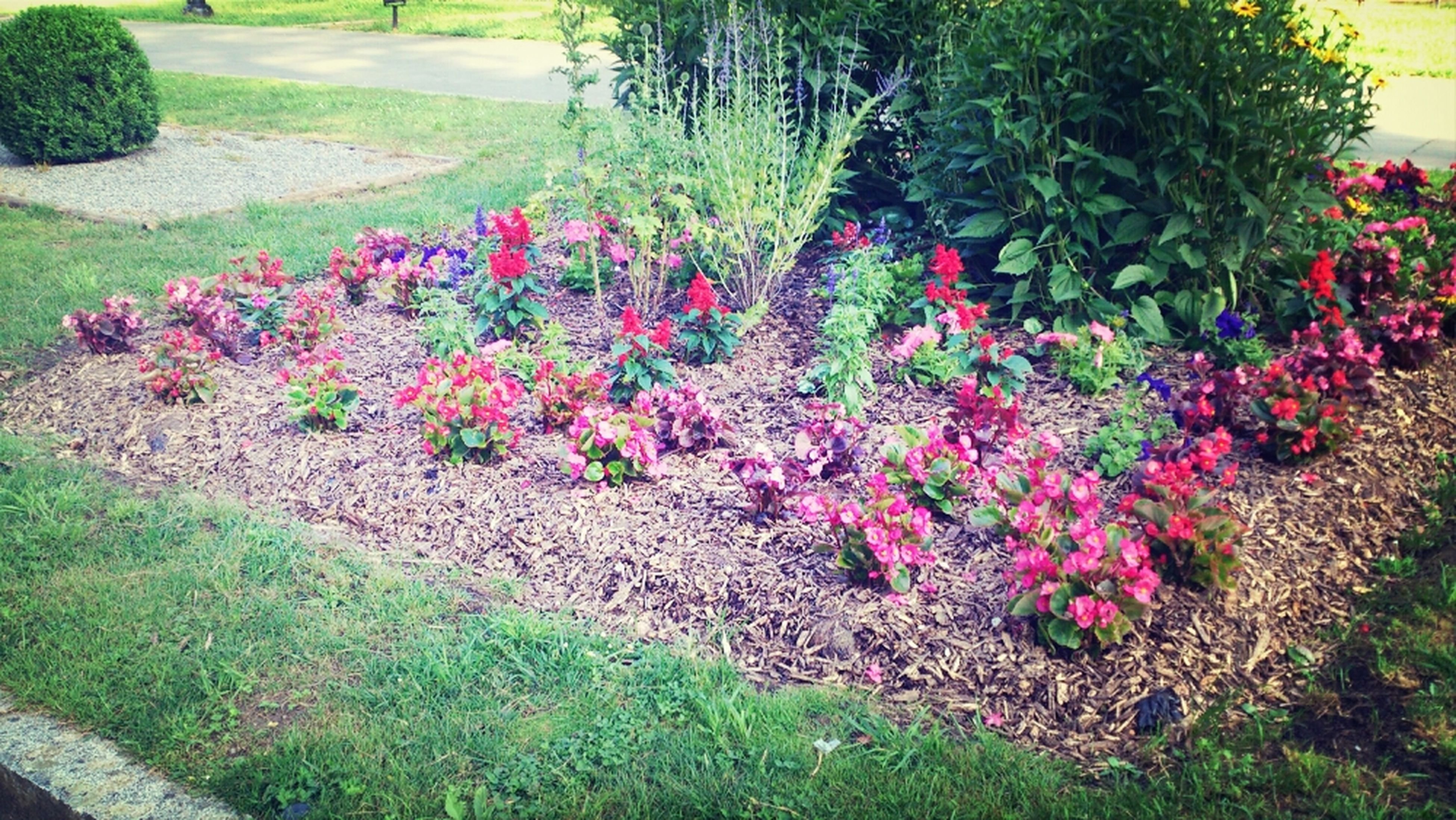 flower, growth, freshness, grass, plant, beauty in nature, field, nature, green color, fragility, tranquility, flowerbed, pink color, blooming, park - man made space, day, in bloom, landscape, outdoors, footpath