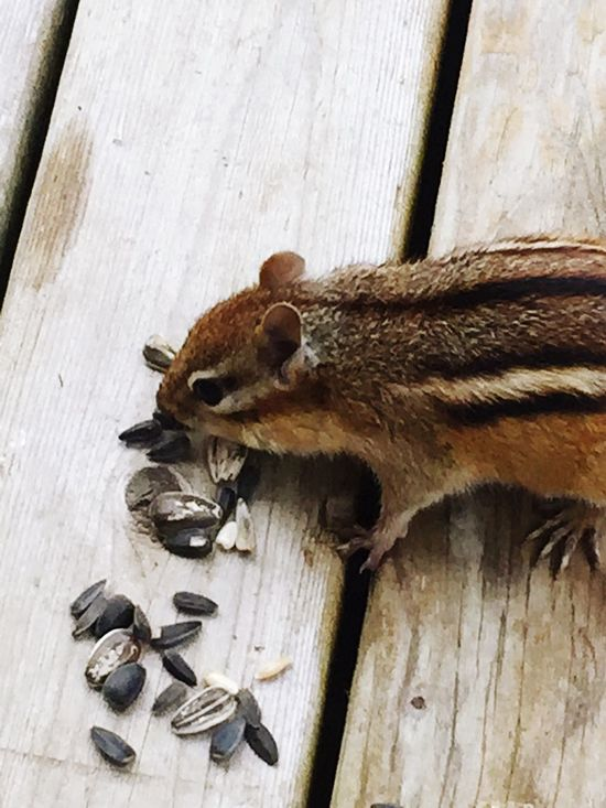 Wood - Material Animals In The Wild Animal Wildlife One Animal Close-up Squirrel Animal Themes Nature Natures Beauty Survival Tame The Great Outdoors - 2017 EyeEm Awards