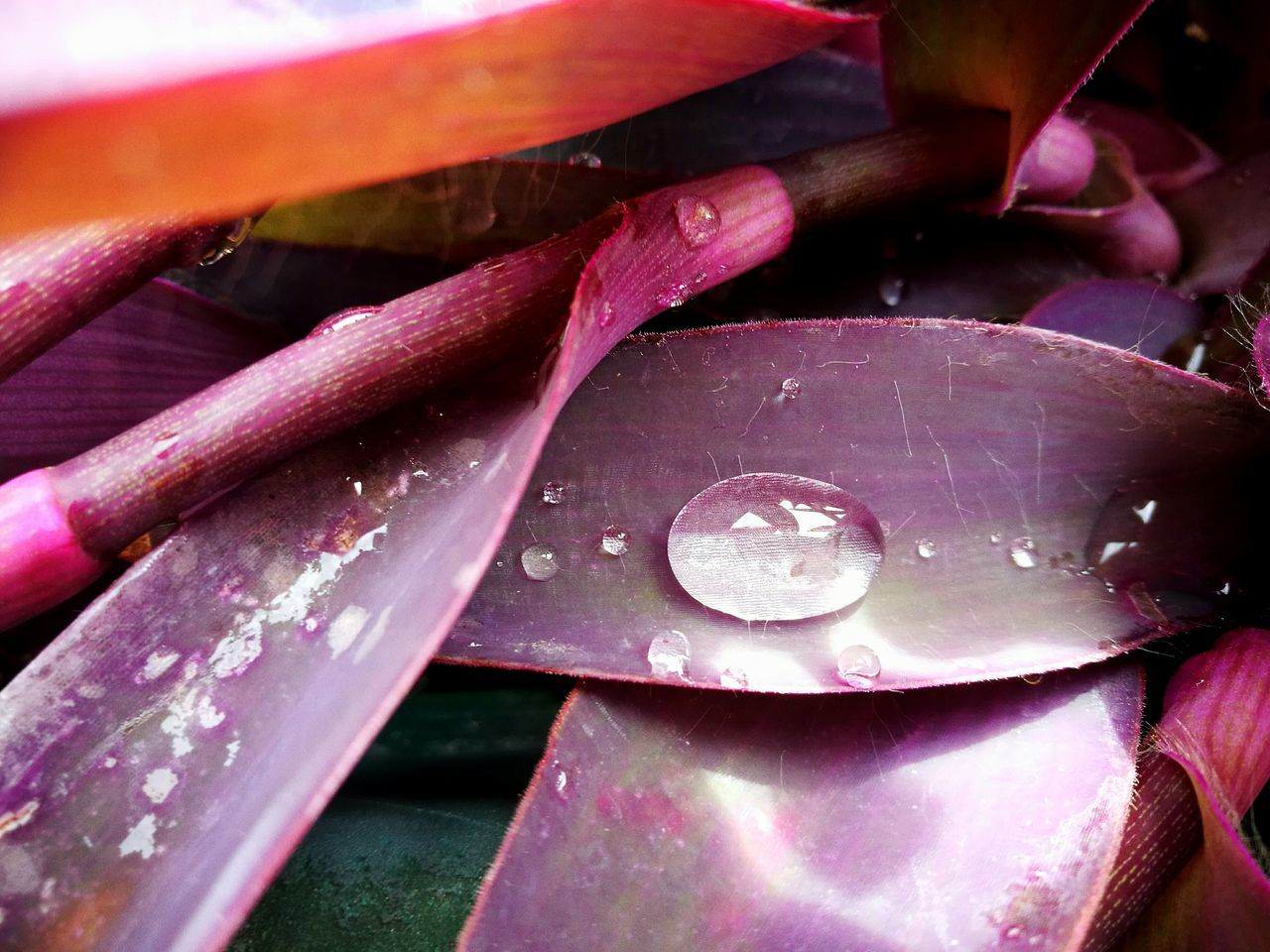 Pink Color Plant Plants 🌱 Plant Photography Plants Collection Gocce Gocce D'acqua Gocce Di Pioggia Goccedipioggia  Goccediacqua