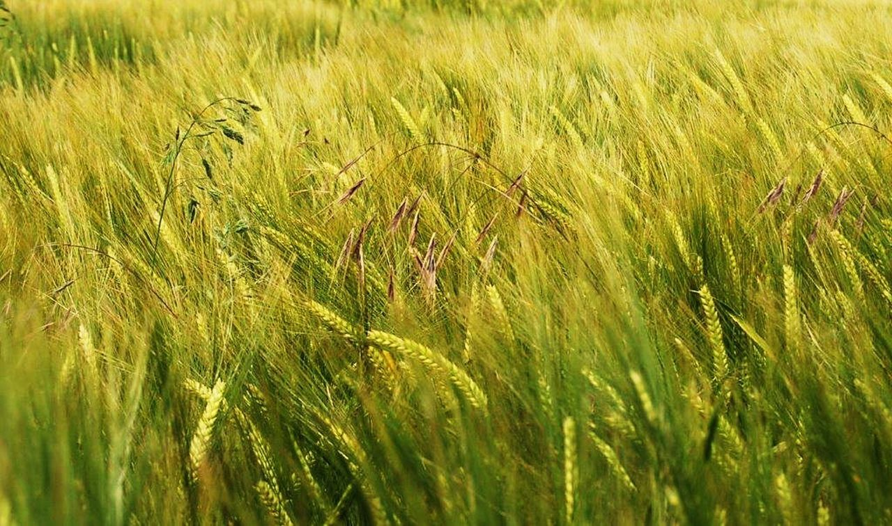 growth, cereal plant, field, grass, agriculture, nature, crop, wheat, farm, plant, green color, rural scene, cultivated land, ear of wheat, beauty in nature, tranquility, outdoors, no people, tranquil scene, rice - cereal plant, day, rice paddy, landscape, scenics, close-up, freshness