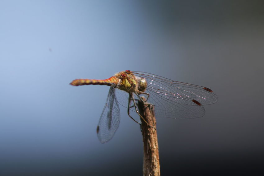Insect No People Animal Wildlife Animal Themes Close-up Outdoors Dragonfly_of_the_day Blue Macro Nature Macro_collection Macro Photography Investing In Quality Of Life Breathing Space Canonphotography Canon_photos Shooting Again Canon 70d Eos70d Just Me And My Camera No Filter, No Edit, Just Photography No Edit/no Filter Canon EOS 70D Pure Photography Focus On Foreground Macro EyeEmNewHere The Week On EyeEm
