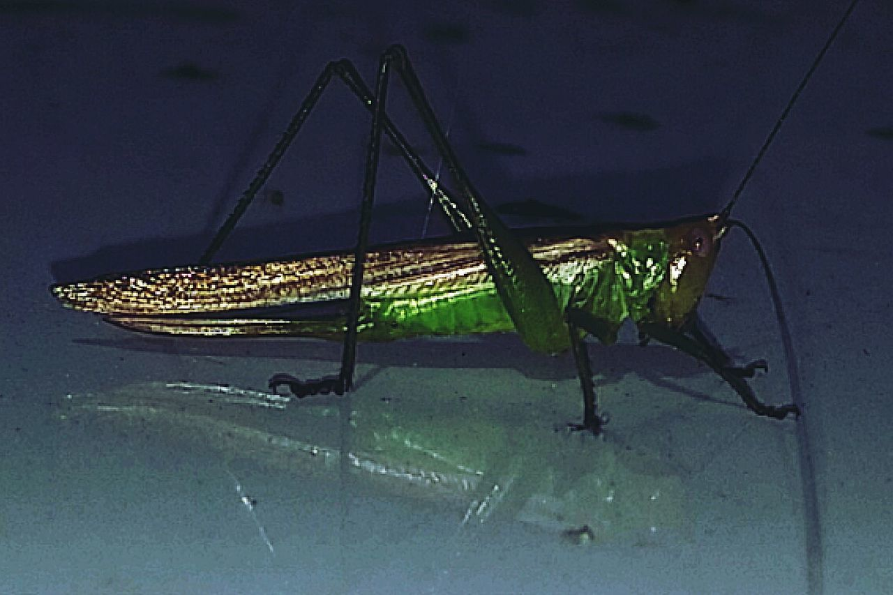 Pimp Pimpstarlife Grasshopper Bugs Life Bug Portrait Bug Hunting Macro Photography Macro Insects I See You... Animal Antenna Showcase June 43 Golden Moments Macro EyeEm Nature Lover Hello World