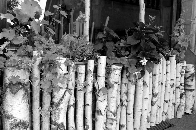 Alsace Architecture Arrangement Black & White Black And White Blackandwhite Blackandwhite Photography Blossom Branch Built Structure Colmar Colmar, Alsace, France Eye4photography  EyeEm Best Shots EyeEm Best Shots - Black + White EyeEm Gallery Fence Flowers France From My Point Of View In Front Of Nature Photography Nature_collection Plant Wooden Fence