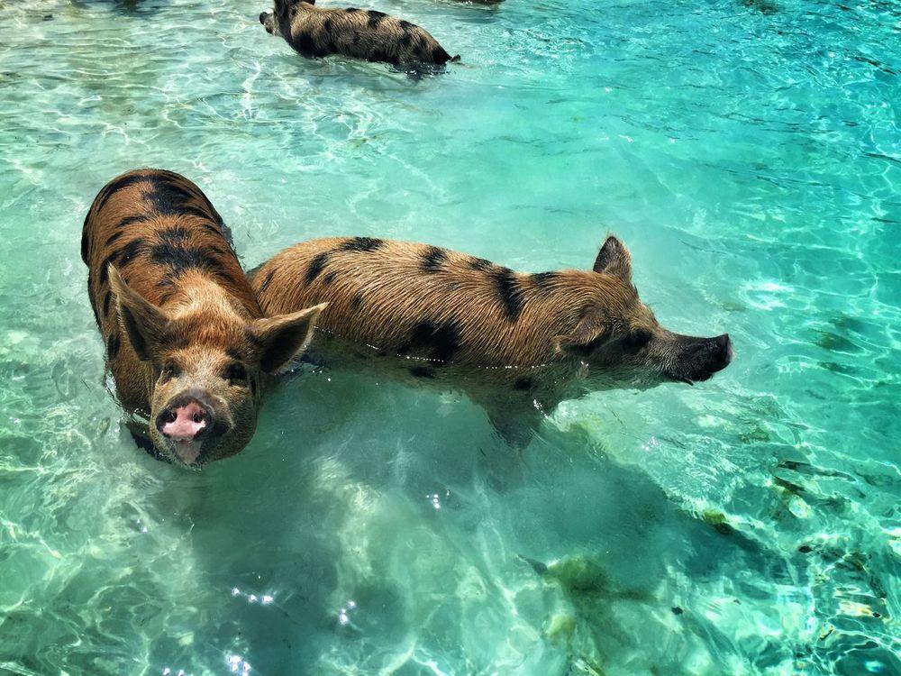 Pig Bahamas Sea Holiday Trip Wonderfulplaces Summer Views Eyem Best Shots Eyem Best Edits