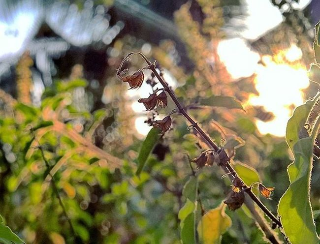 Macro Tulasi  Seeds With Lumia1520 Nokia  Lumia 1520 Sunrise_sunsets_aroundworld Sunset Bright Sun Behindthescenes Behind Green Aroundtheworld