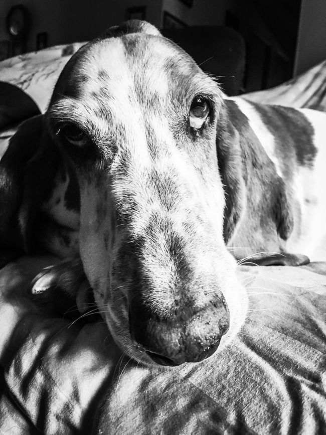 Hello there😘 Close-up Dog Adogslife Posing For The Camera Iphonephotography Comfy And Cozy Bassetphotography Bassetmoments Myseniorhound Bassetworld Livinandlovinlife Ilovebassethounds Check This Out Rescuedbassethound Blackandwhite Photography