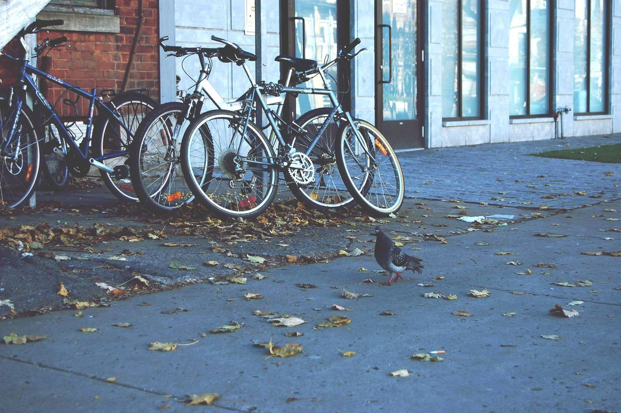 Bicycle Transportation Outdoors No People Mode Of Transport Land Vehicle Stationary City Day Pigeon Pigeons Pigeonslife Pigeons Everywhere Pigeons Life