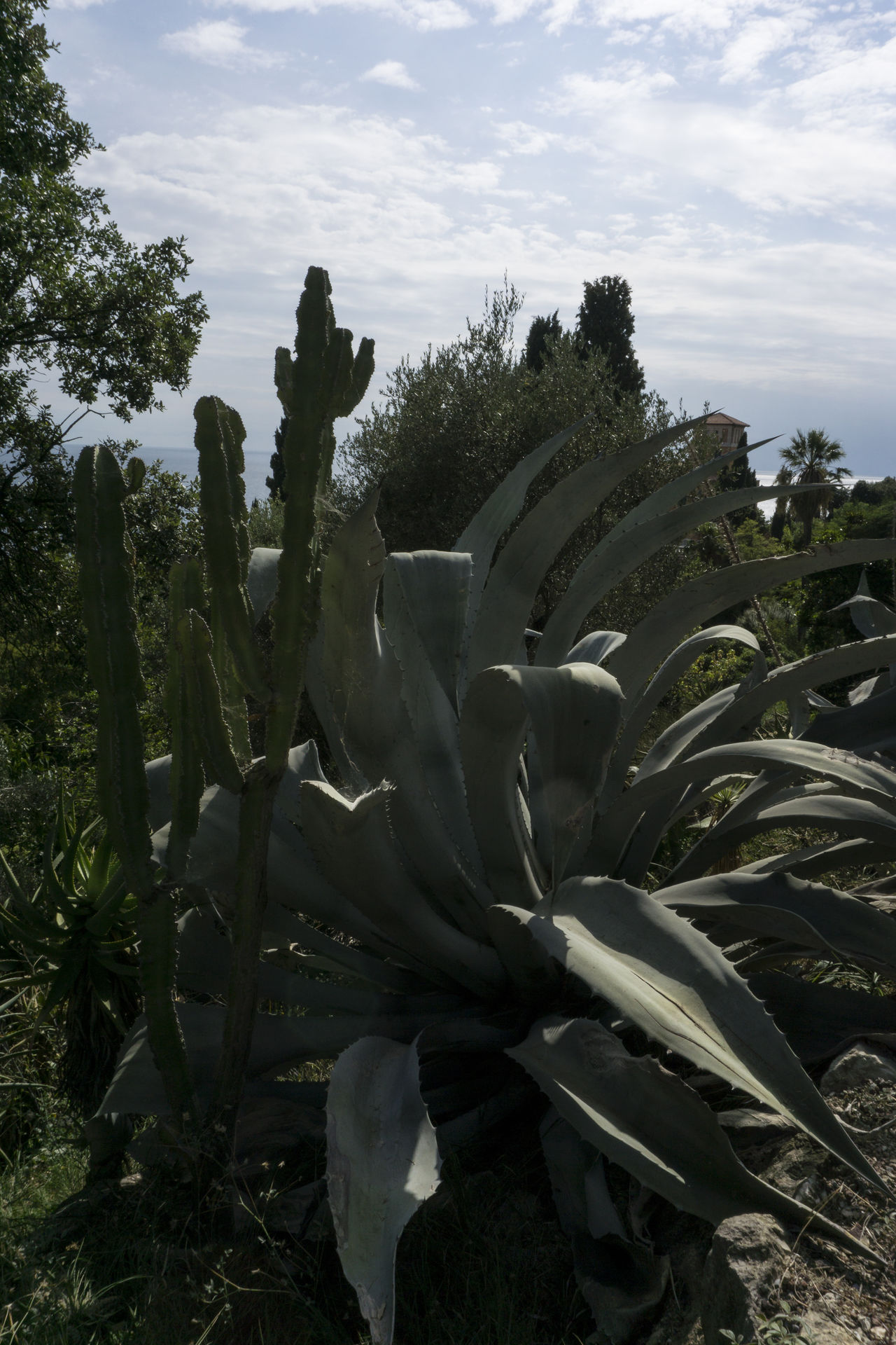 italia Agave Beauty In Nature Botanical Gardens Botanischer Garten Cactus Costa Azzurra Côte D'Azur Day Exotic Plants Giardini Hanbury Giardino Botanico Growth Italia Italie Italien Italy Italy❤️ Italy🇮🇹 Nature No People Outdoors Plant Riviera Sky Ventimiglia