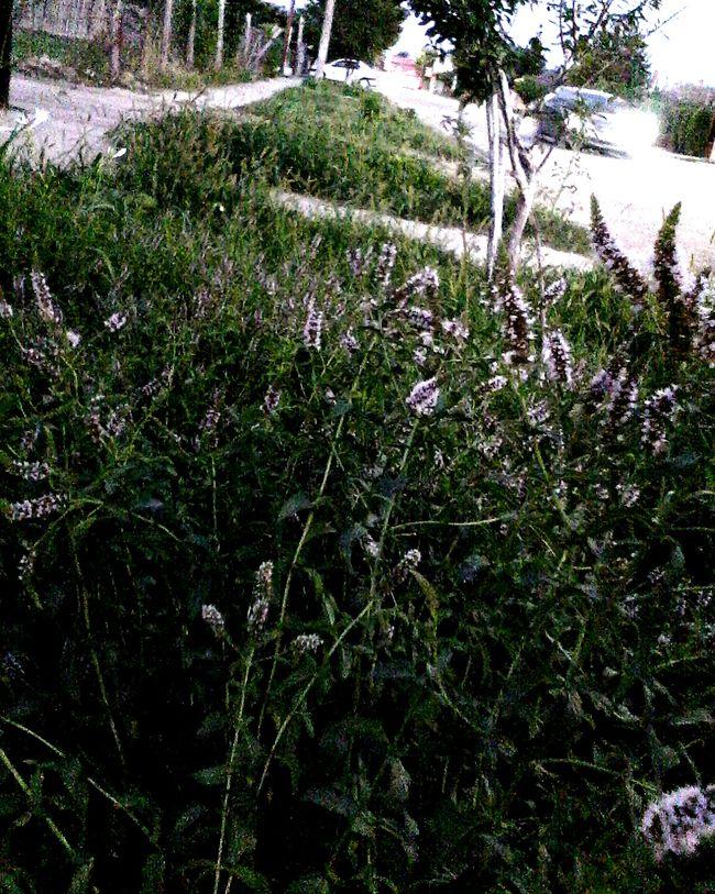 Tree Plant Nature Grass Outdoors No People Edited By @wolfzuachis Street PhotoStreetphoto Street Photography Mint Plants Plants Wolfzuachis Eyeemphoto Ionitaveronica @wolfzuachis Street Showcase: 2016 Road Eyeem Market Car Streetphotography 2016 Enhanced Romania