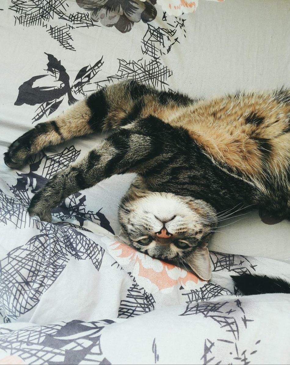 Animal Themes Mammal Domestic Animals Day Gymnastics Lazy Cat Lazysunday EyeEm Nature Lover