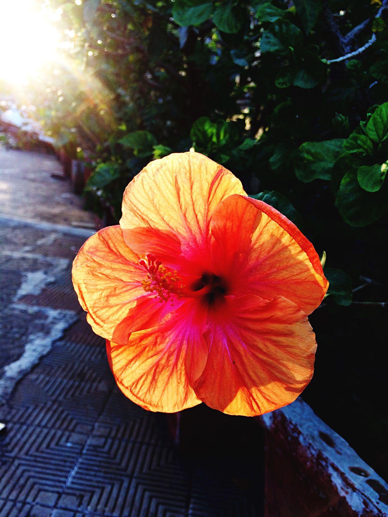 Hibiscus Flower Flower EyeEmFlower Flower Head EyeEm EyeEm Best Shots EyeEm Nature Lover Evening Light Flowers Nature Beauty In Nature Orange Color Blooming No People Eye4photography  Flowers, Nature And Beauty EyeEm Gallery EyeEmNewHere EyeEm Best Shots - Nature
