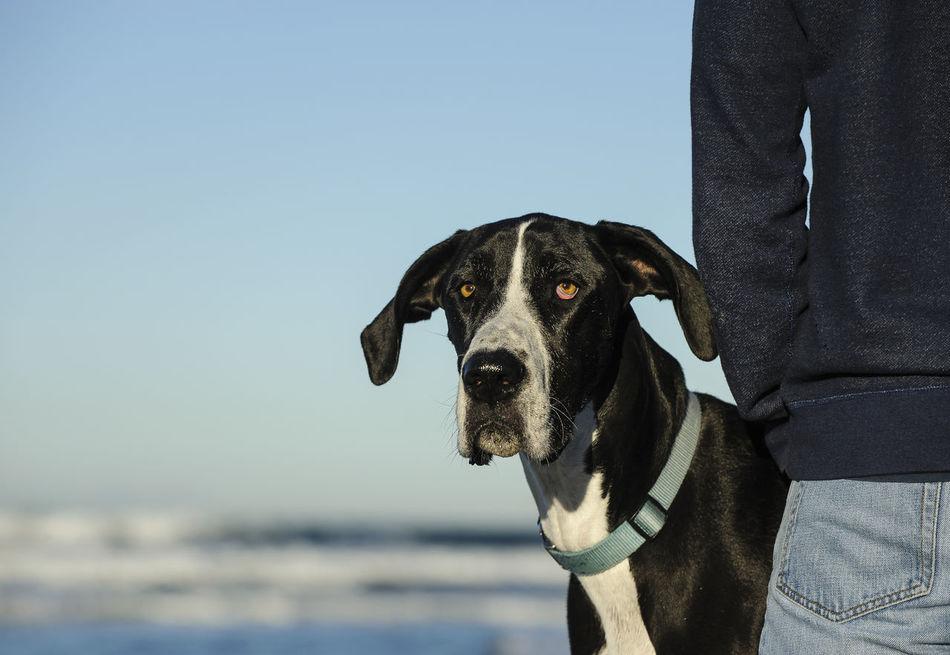 Beautiful stock photos of great dane,  Animal Head,  Animal Themes,  Beach,  Black Color