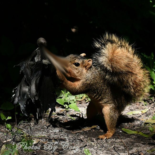 Only then will he realize, Nothing in life is free.... 2/2 Funwiththesquirrels _tyton_ Tamd_outdoors Hellboundtoys Wildlifephotography Wildlifepark