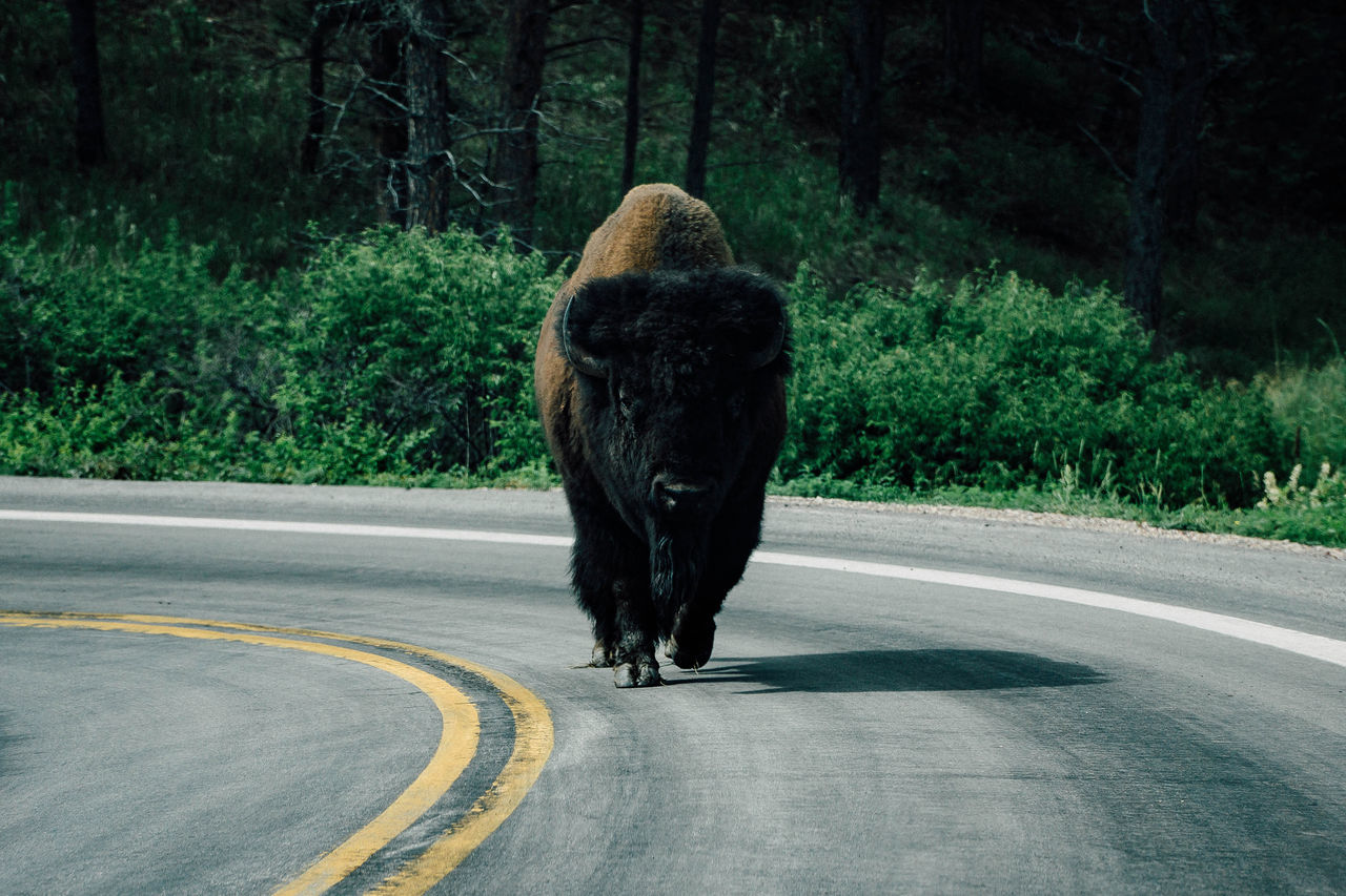 American Bison Animal Themes Bison Day Dog Domestic Animals Growth Mammal Nature No People One Animal Outdoors Pets Rear View Road The Way Forward Tree