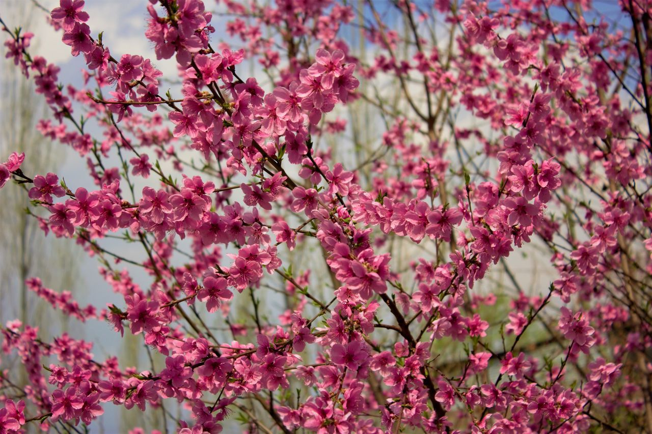 flower, pink color, growth, beauty in nature, tree, blossom, fragility, branch, freshness, nature, springtime, day, no people, petal, selective focus, outdoors, low angle view, backgrounds, close-up, full frame, flower head