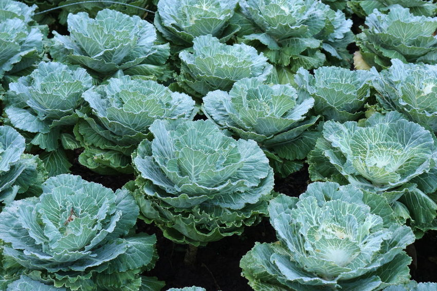 fresh agriculture organic cabbage from farm Agriculture Backgrounds Beauty In Nature Cabbage Cauliflower Day Field Food Food And Drink Freshness Full Frame Green Color Growth Healthy Eating High Angle View Leaf Lettuce Nature No People Organic Outdoors Plant Raw Food Spinach Vegetable