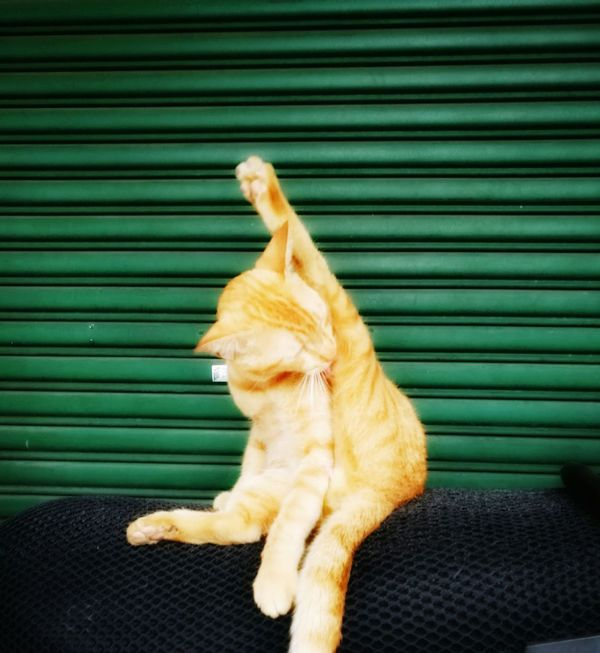 Yoga Cat. One Animal Pets Domestic Animals Animal Themes Domestic Cat Animalphotography Hua Wei P9 Plus Huaweiphotography Homeless Kitten No People HuaweiP9Photography Huawei P9 Plus Homeless Cat Homeless Animal Homeless Cats Homelessness  Homeless Homelessness  Kitten Cat Animal Homelessness  Homelessness