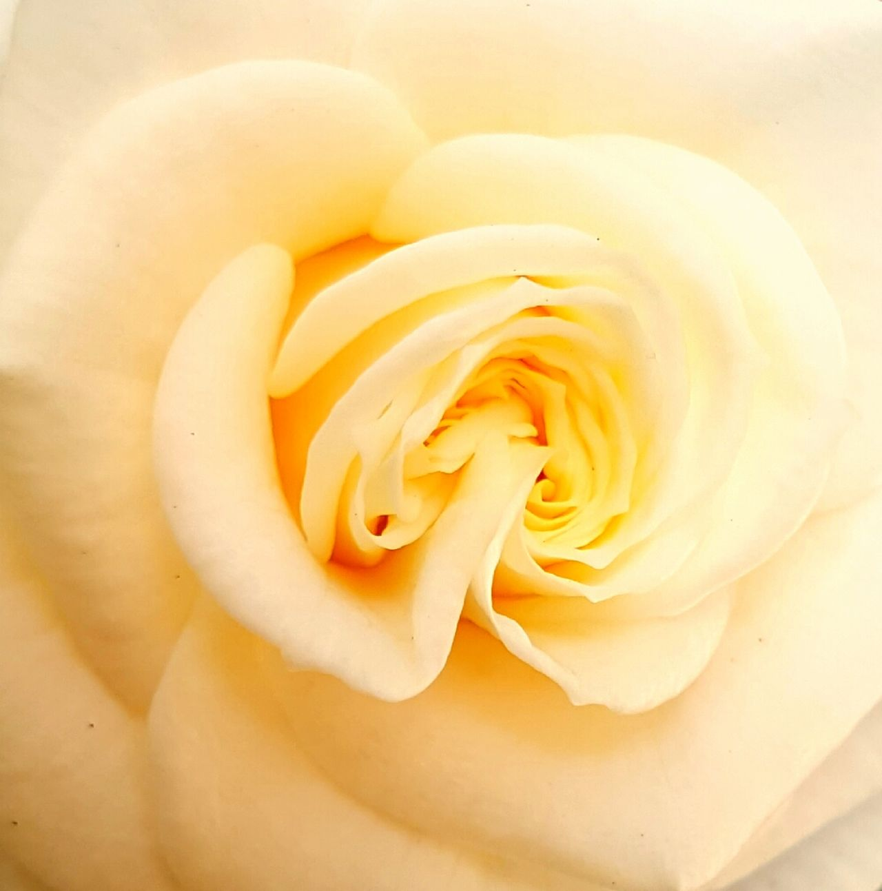 No People Nature Flower Head Rose - Flower Yellow Rose
