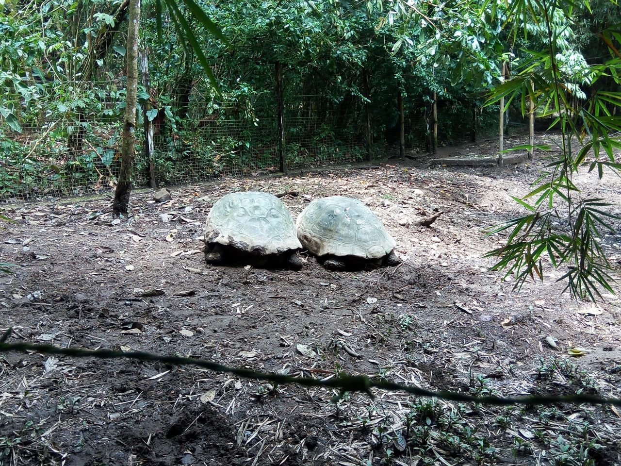 Day Ecuador Giant Tortoise Nature No People Outdoors Tortoise