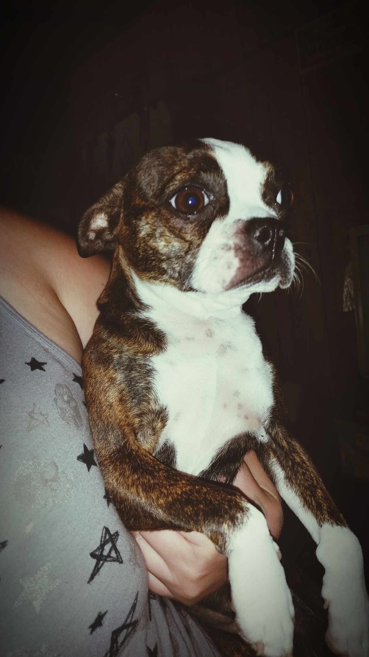 Pet Photography  Doggie Dog Love Dog❤ Boston Terrier Boston Terrier, Cute, Pet, Best Friend