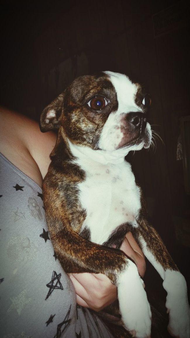 Pet Photography  Doggie Dog Love Dog❤ Boston Terrier Boston Terrier, Cute, Pet, Best Friend
