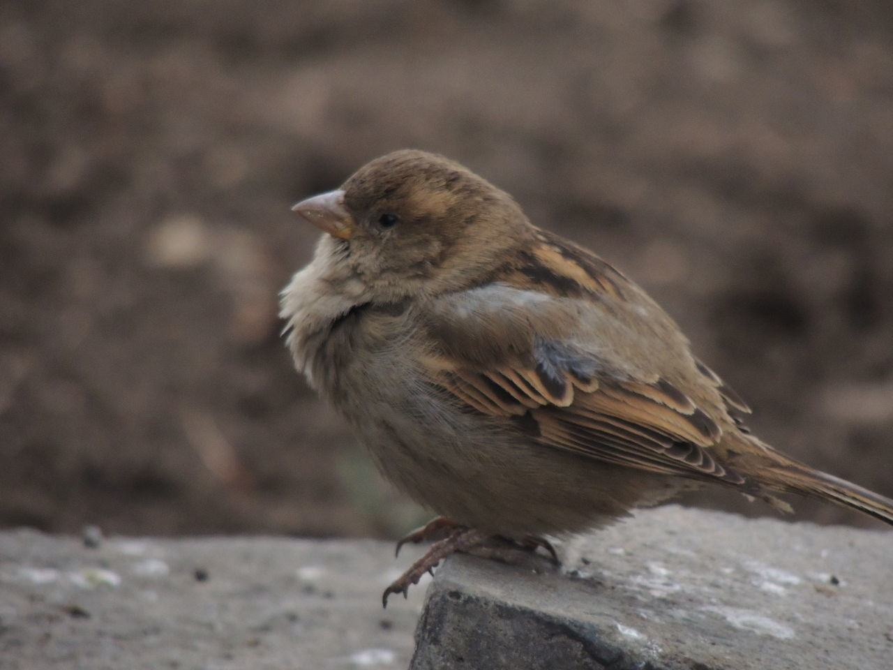 Animal Themes Animal Wildlife Animals In The Wild Bird Close-up Day Focus On Foreground Full Length Nature No People One Animal Outdoors Perching Robin Sparrow