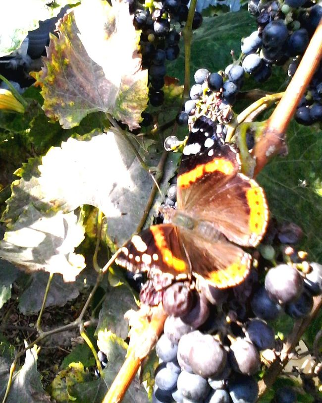 Butterfly Collection Close-up Nature Dramatic Angles Colorful Butterfly - Insect Insect Grape Vineyard Fruits Butterfly Grapes Autumn Eyeem Market Enhanced Romania Showcase: October Showcase: 2016 @wolfzuachis Ionitaveronica Wolfzuachis Slowfood Edited By @wolfzuachis Butterfly Eating Grape's Juice Butterfly Eating