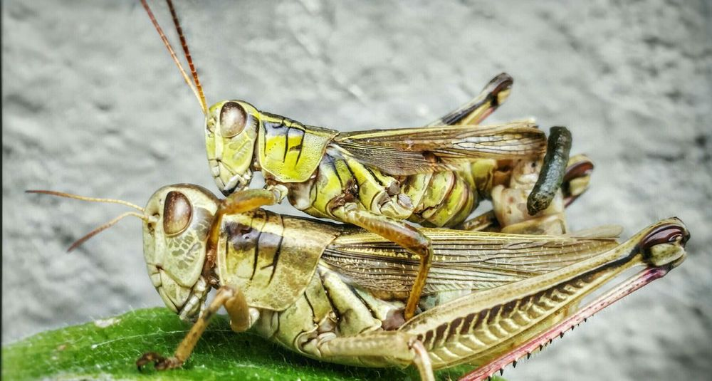Guess it's Mating Season. They're probably mad I didn't knock. Grasshopper Insects  Nature Animals Animal Photography Animals In The Wild Green Bugs Summer Mating Mating Pair Of Insects Mating Bugs