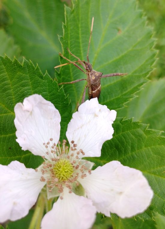 Nature Close-up Plant Flower No People Beauty In Nature Flower Head Leaf Outdoors Freshness Fragility Day Insect Petal Blackberry Flower EyeEmNewHere