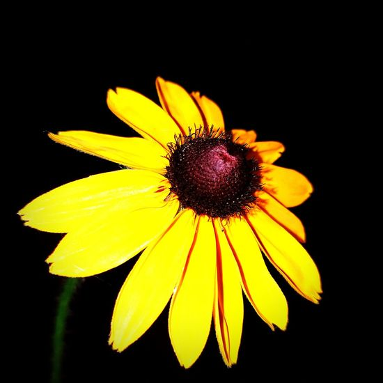 Flower Fragility Yellow Petal Flower Head Black Background No People Black-eyed Susan Plant Freshness Close-up Beauty In Nature Nature Growth Outdoors Moultrie Georgia Scenesofthesouth Night